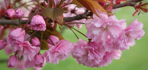 Japanese flowering cherry