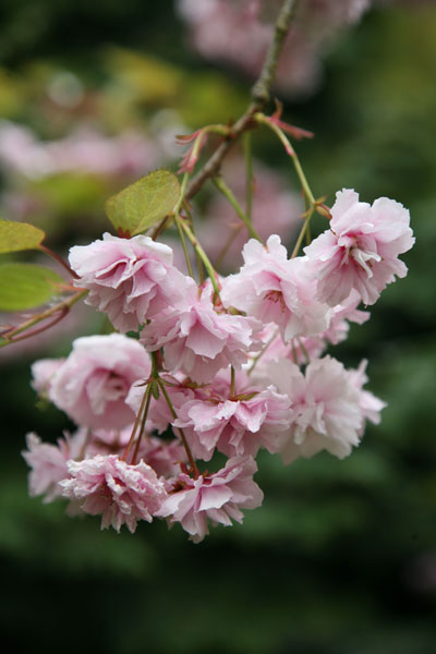 cheal's weeping cherry