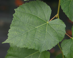 Tilia Cordata (Small-Leaved Lime)