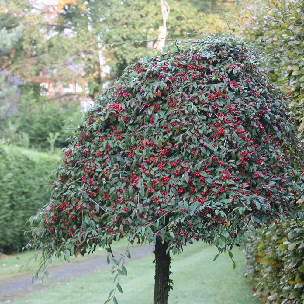 standard cotoneaster
