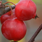 Malus × robusta Red Sentinel