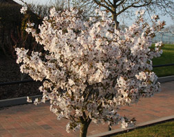 Prunus 'The Bride' (ornamental cherry)