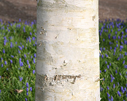 Click to view product details and reviews for Betula Utilis Var Jacquemontii West Himalayan Birch.